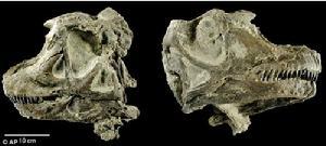 阿比杜斯龙头骨直径为25厘米,推测其体长可达到7.8米