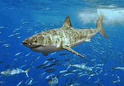 大白鲨咖啡厅-大久宝