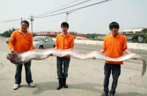地震鱼-大久宝