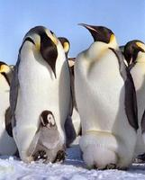帝企鹅-大久宝